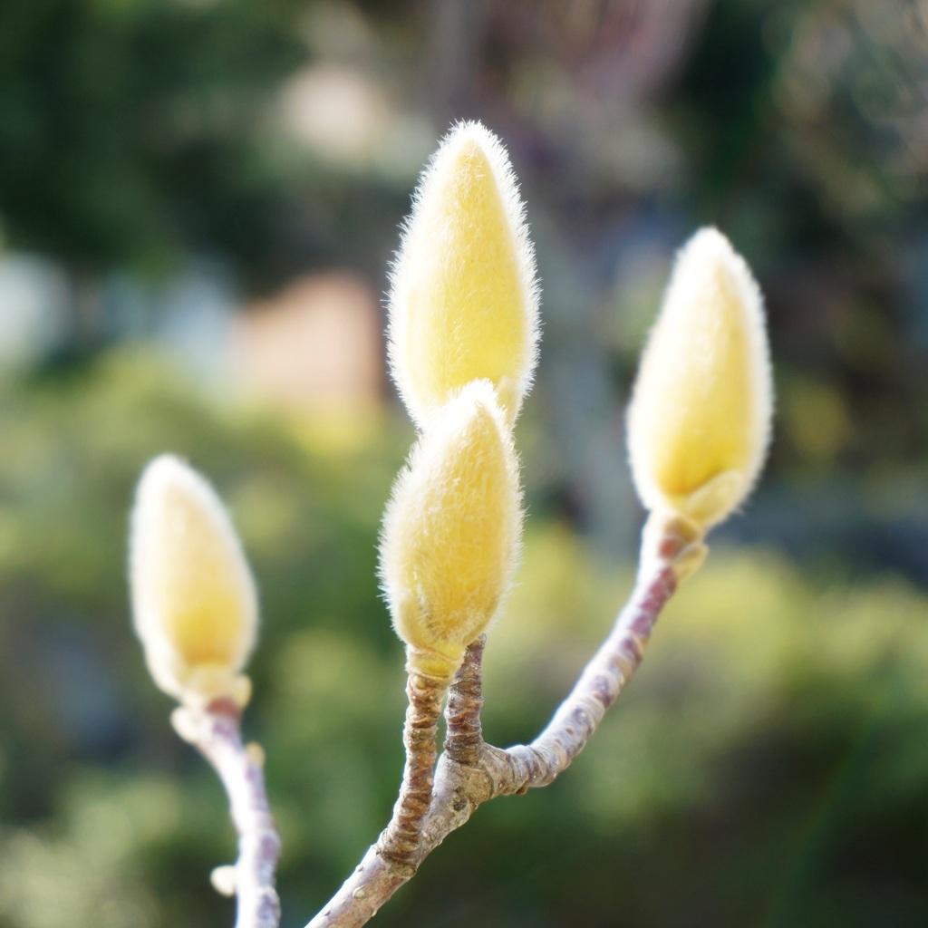 木蓮の蕾2