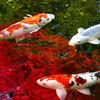 紅葉を泳ぐ