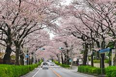 近所の桜通り