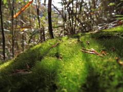 千早城跡の苔