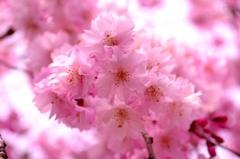 淡紅の八重桜