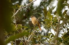 法起寺の野鳥
