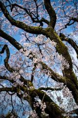 姫しだれ桜