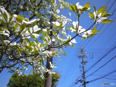 路傍の花水木