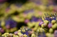 あじさいの花々