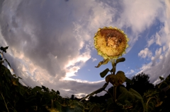 向日葵の 果てるその背に 五重塔