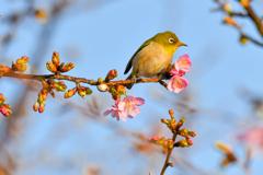 河津桜でお花見、メジロちゃん