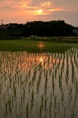 夕日、田に映る