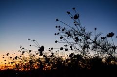 コスモスのある夕景