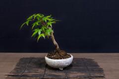 ミニ盆栽 2