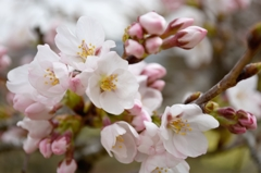 今日の桜色