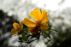 雨にヤマブキ