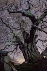 古桜の咲く夜