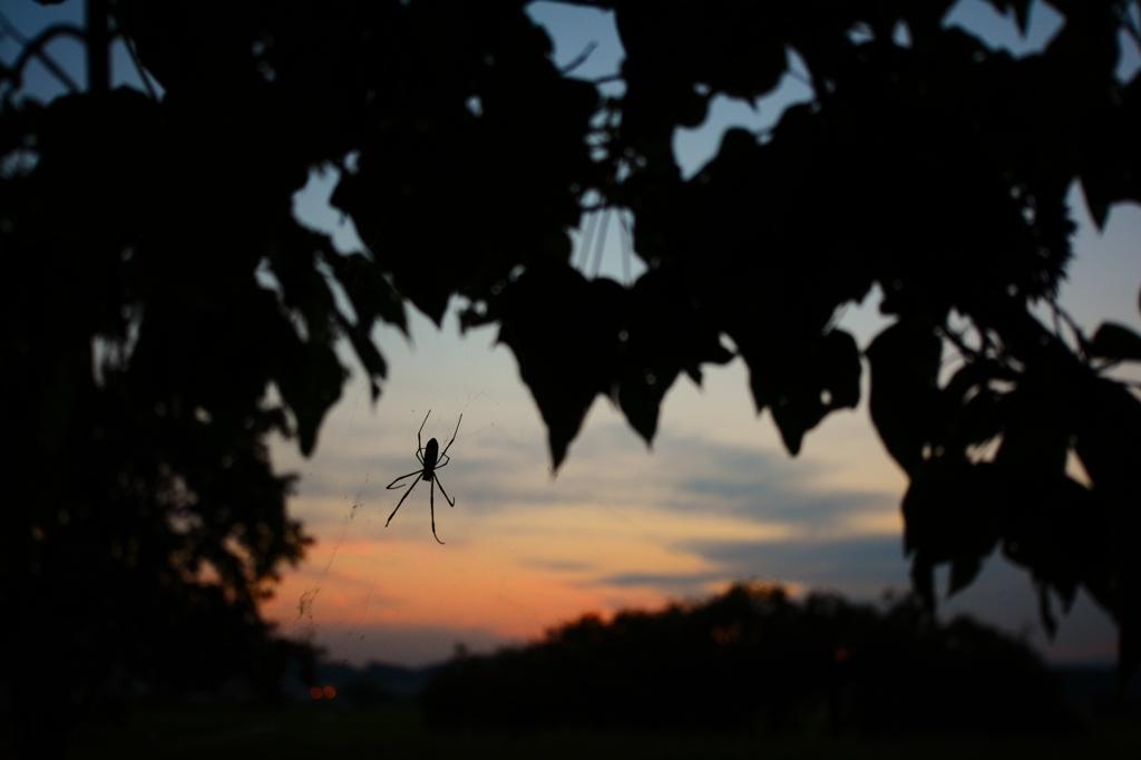 夕焼け蜘蛛
