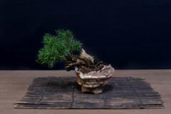 ミニ盆栽 1