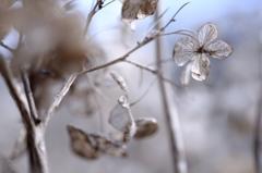 冬あじさい 2