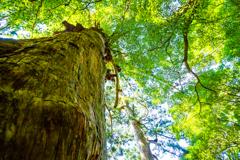 屋久の大樹