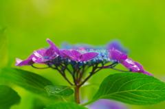 梅雨の風物詩