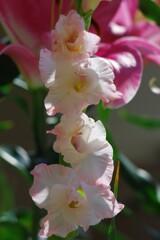 庭に咲く「グラジオラス」2