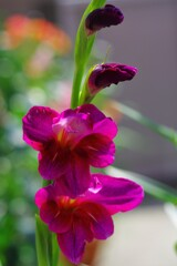 庭に咲く「グラジオラス」1