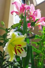 庭に咲く「カサブランカ」たち