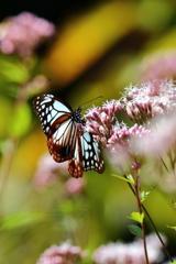 長い旅をする蝶!