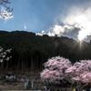 春の日差しと淡墨桜