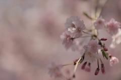 2020年 桜