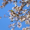 魚見桜とメジロ