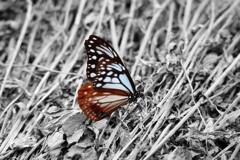 大好きな蝶