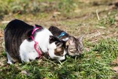畑の草を食む兄弟猫
