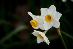 水仙の花言葉の由来
