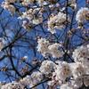 IMG_0819_桜