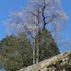 IMG_1122_桜