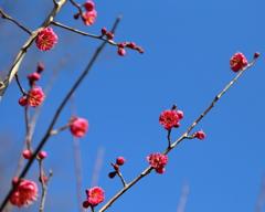 梅は咲いたか・