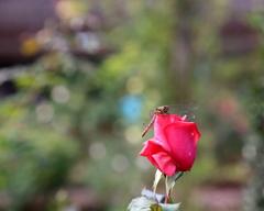 秋のバラやね