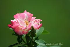 暑いなか健気なバラ