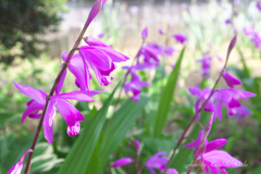 紫蘭(しらん)横顔です
