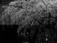 青春のJポップ  桜の闇に振り向けば