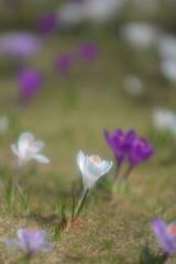 懐かしの昭和歌謡   花はおそかった