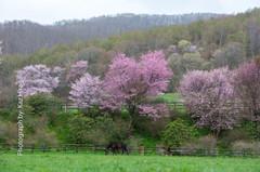 桜花とサラブレッド