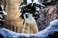 冬の旭山動物園、シロクマ