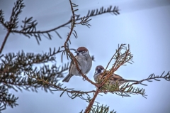 Sparrow_HDR