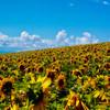 士別市川西の丘、向日葵の畑