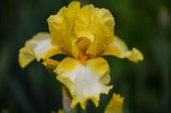 6月の庭から、アイリス(黄色)