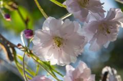 今が満開、我が家の枝垂桜