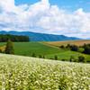 士別市川西の丘、蕎麦畑、空にトンボ
