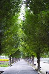 富田ファーム、ポプラ並木