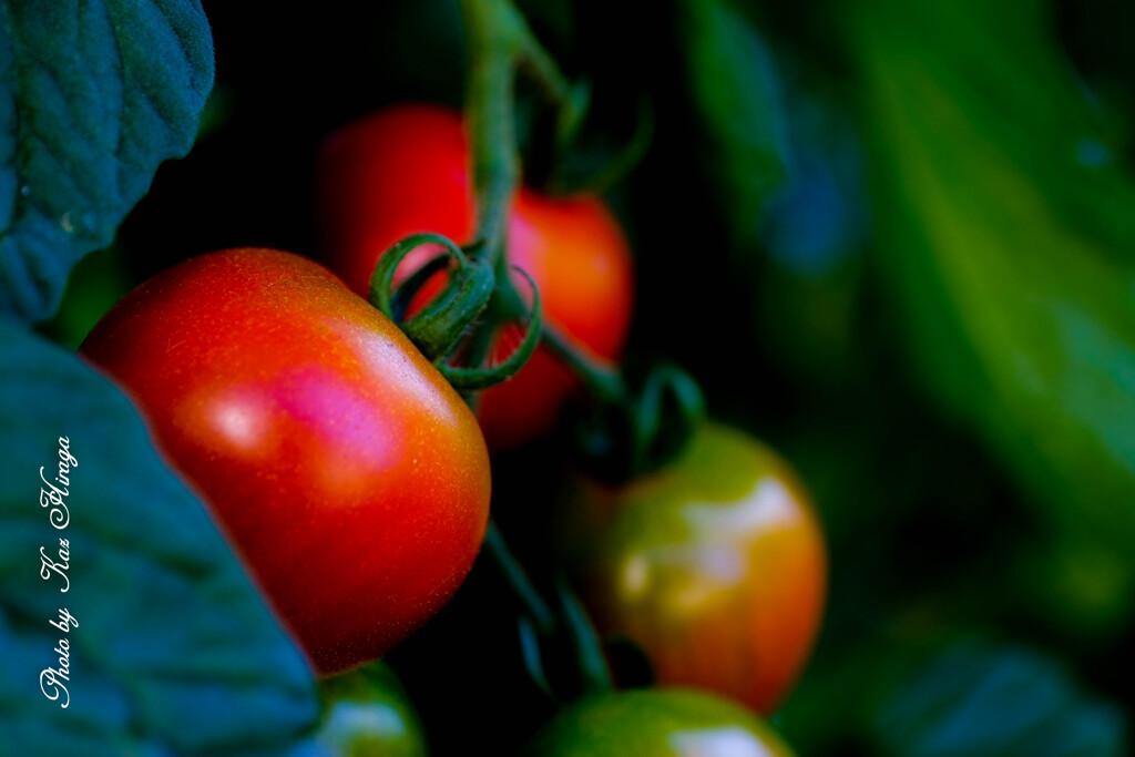 トマト日和