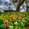 北邦野草園、カタクリ